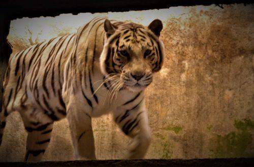 Weisser Tiger Nahaufnahme